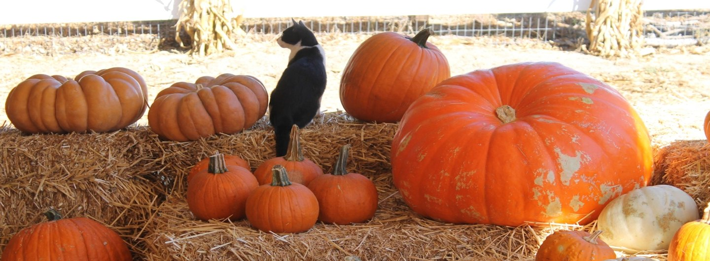A black and white cat sitting on a bale of hay and surrounded by pumpkins