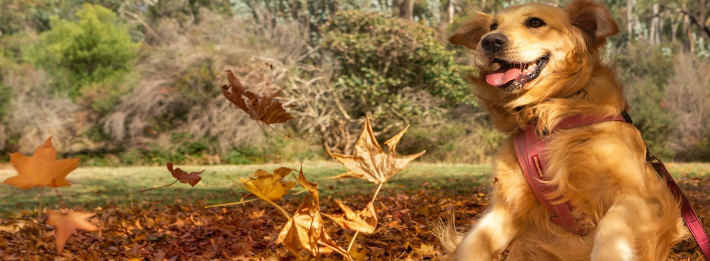 a happy dog jumping in autumn leaves