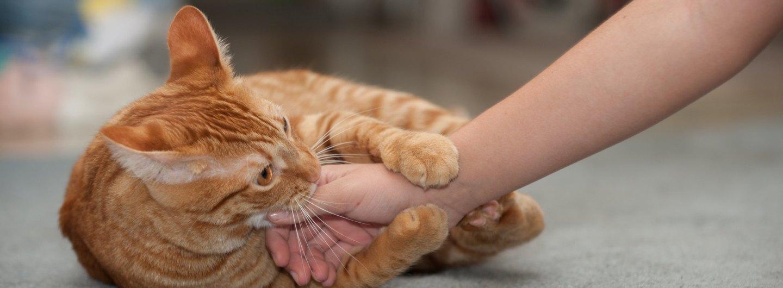 orange cat play biting person's hand