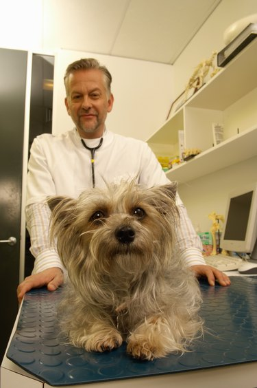 Vet with terrier dog on examination table