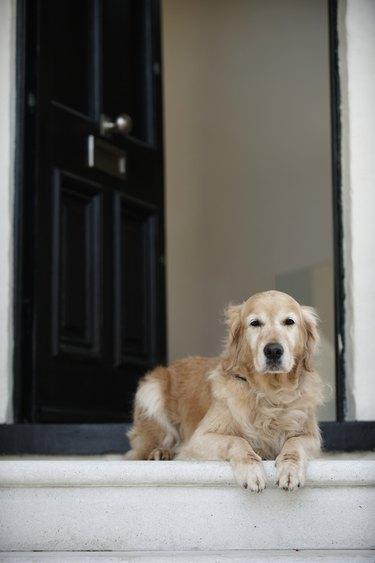 Golden retriever dog sitting in front door of house, looking away