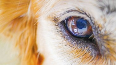 intense look dog eye