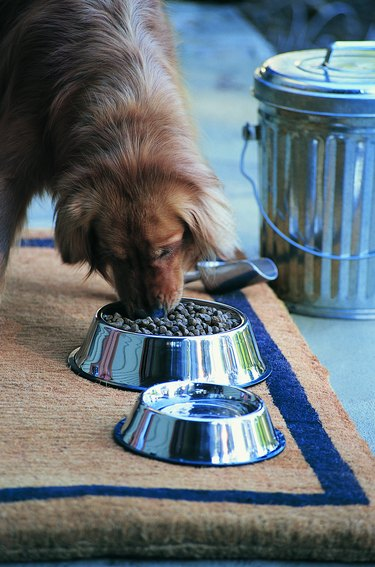 Dog Eating Food From Chrome Bowl
