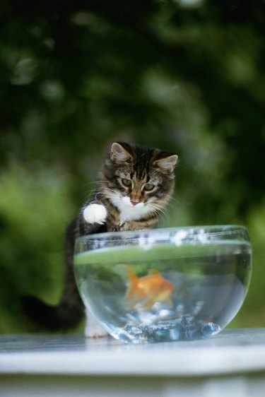 Kitten watching goldfish in fishbowl