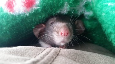 Sleepy rat under blanket