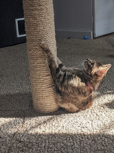 cat clawing at scratching post