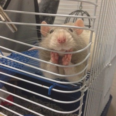 Rat propping its chin on its paws