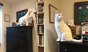 white cat with long neck