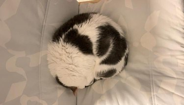 cat curled up like soccer ball