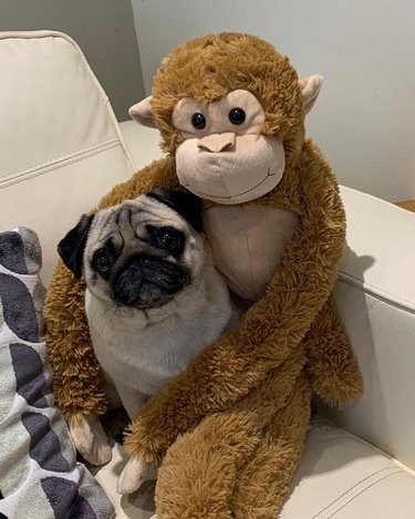 Dog being held by toy monkey