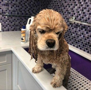 grumpy dog in bath tub