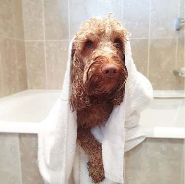 dog in bath tub covered in white towel