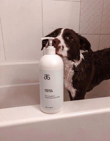 dog sniffing shampoo bottle in tub