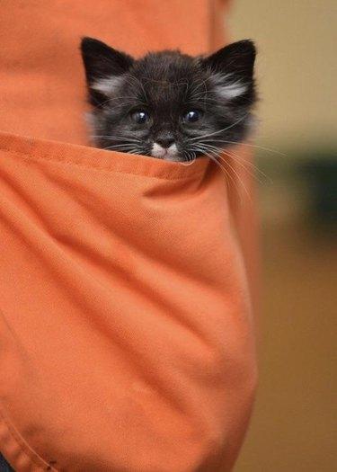 Kitten in apron pocket