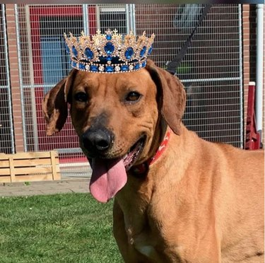 dog with sapphire crown