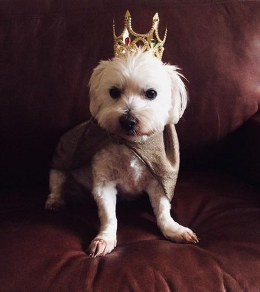 dog on velvet cushion wearing golden crown