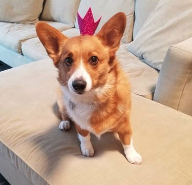 dog with pink glitter crown