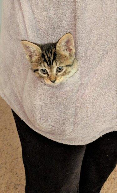 Kitten in sweater pocket