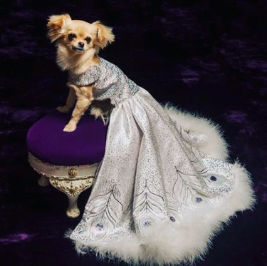 dog on purple velvet stool wearing fur trimmed gown