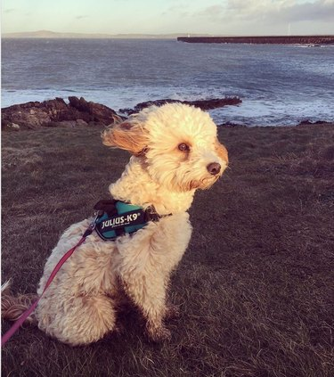 A small, fluffy dog on a cliff overlooking the ocean, with his hair blowing in the wind.