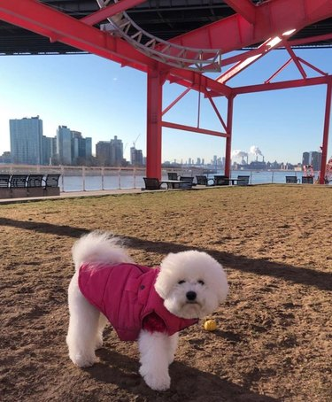 A small white dog in a pink, puffy jacket.