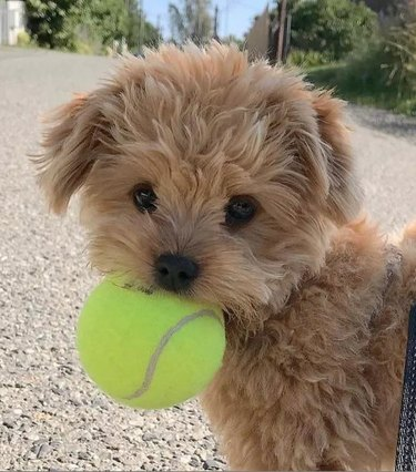A tiny puppy holding a tennis ball in his mouth.