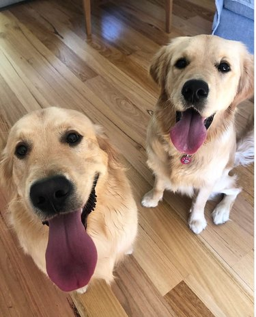 Two golden retrievers are sitting next to each other, panting and sticking out their tongues.