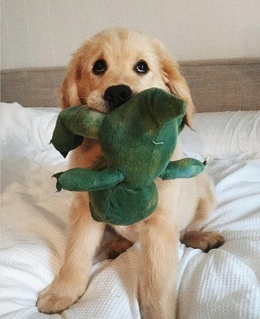 golden retriever puppy sitting on a bed holding a stuffed frog toy in his mouth.