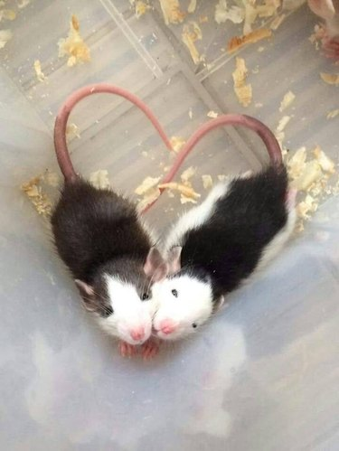 Two black and white rats forming a heart with their tails