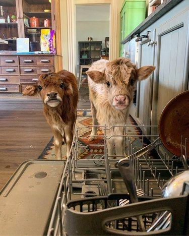 Two highland calves next to a dishwasher