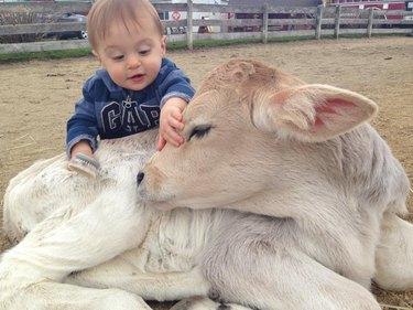 Child petting calf with long eyelashes.