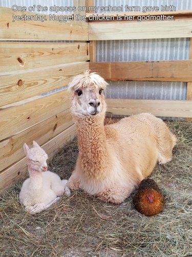 Alpaca, baby alpaca, and chicken sitting in hay.