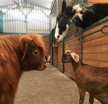 Horse, goat, and cow looking at each other