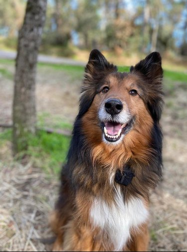 Collie dog looking happy