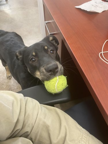 Dog putting tennis ball on arm rest of desk chair