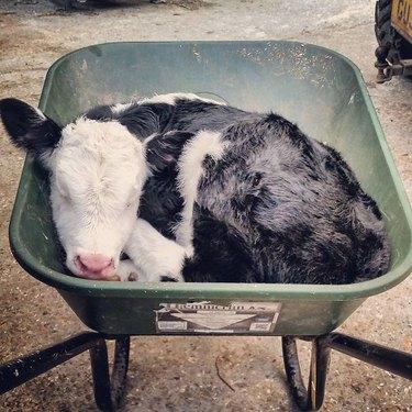 Calf curled up in a wheelbarrow