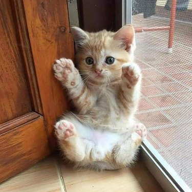 Kitten showing all four paws