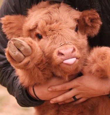 Calf sticking out its tongue