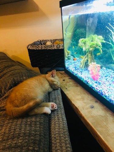 Kitten asleep in front of a fish tank.