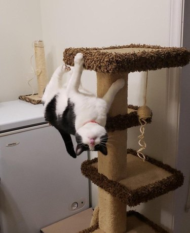 Upside down cat on a scratching pole