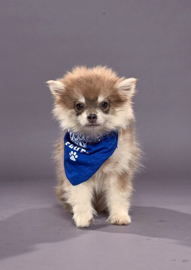 Puppy Bowl XVI participant named Theodore