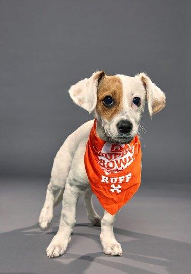 Puppy Bowl XVI participant named Jack
