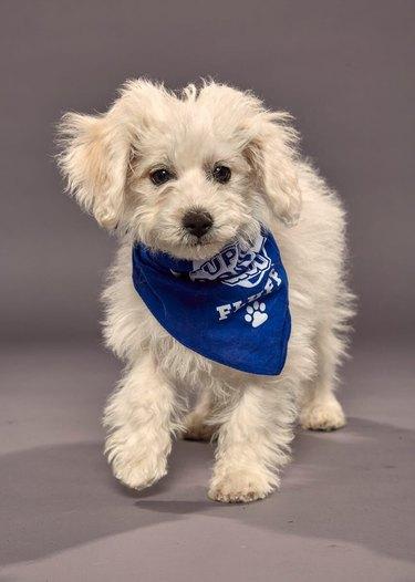 Puppy Bowl XVI participant named Wilbur
