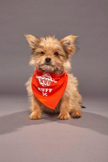 Puppy Bowl XVI participant named Linus