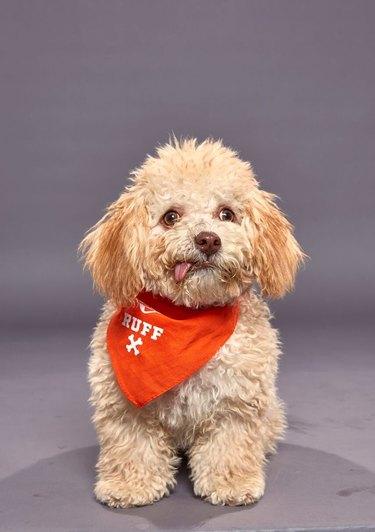 Puppy Bowl XVI participant named Huck