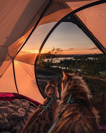 Two cats watching the sunset from inside a tent