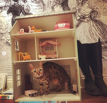 spotted cat inside dollhouse looking spooked