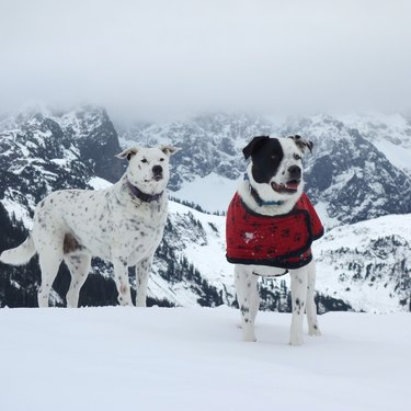 Two dogs on a snow-covered mountain