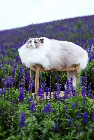 Fluffy cat.