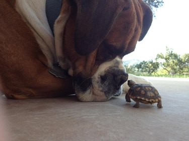 Big dog nose to nose with a small turtle.
